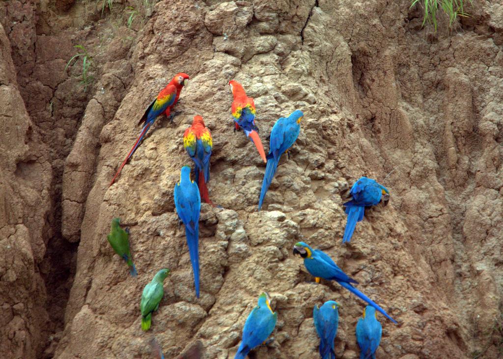 Parrots at a clay lick in Peru. Photo: Brian Ralphs