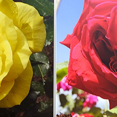 Close up photographs of a yellow rose on the left and a red rose on the right